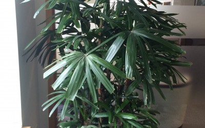 Rhaphis palm