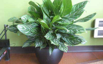 Agleonema - Chinese Evergreen
